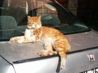 トルコのねこは、車の上で、ひなたぼっこすることもよくあります(写真あり)
