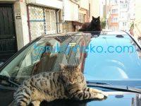 トルコ イスタンブールで、黒猫とトラ猫が車の上で休んでいる画像