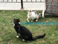 トルコの猫が取っ組み合いの喧嘩中だが、本気ではない画像