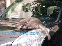 トルコの猫がFIAT という車の上で寝ている画像