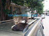 トルコの車の上で二匹の可愛い子猫がこっちを向いている画像