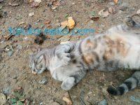 トルコの猫がこちらに安心してお腹を向けている画像