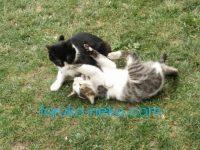 トルコの猫が芝生の上でじゃれあってケンカしている画像