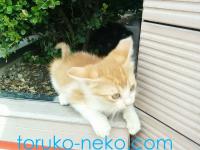 明るい色のトルコの猫の写真。クリーム色の子猫の画像