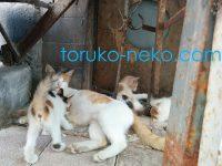 トルコの若い猫が、我が子にミルクをやっている画像