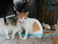 トルコでお母さん猫に甘える子猫の画像