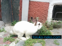 トルコの猫・・・ではなくて、今回はウサギさんをご紹介します。
