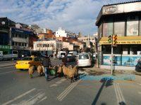 続編:トルコでは街中で猫だけでなく羊と羊飼いを見られる!?