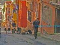 トルコ イスタンブールでは街中に羊と羊飼いがいる!?