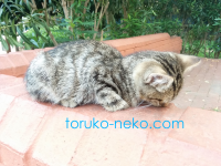 トルコ猫歩きで、うつ伏せで寝る子猫ちゃんを発見!?