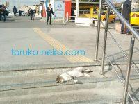 トルコの猫はどこでも寝るのか!?大通りの階段で寝そべってる猫の画像