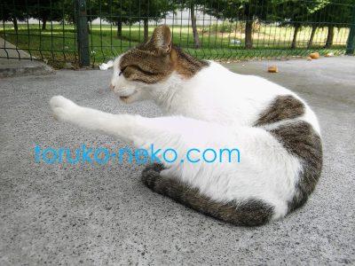 catleg トルコ猫歩きで、イスタンブールの猫が毛づくろいのために足を上げている写真 画像