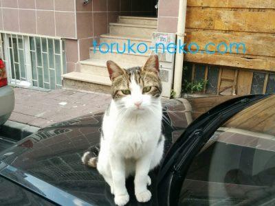 トルコ イスタンブールで、紺色の車のボンネットの上で、一匹の可愛い子猫がこちらをむいてお座りしている