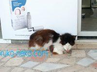 イスタンブールの猫が舌を出しながら寝ている写真 画像