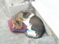 トルコの猫が2匹仲良く寄り添ってお眠りしている写真 画像