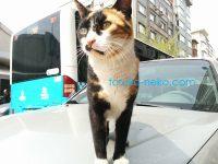 トルコの野良猫に最接近して、凛と立つ三毛猫を撮ってみた