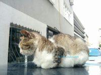 夏至近くでトルコの猫が車の上で昼寝(朝寝)している写真 画像 うるう秒 時間の定義